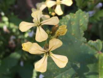 brassicaceas 4 petalos