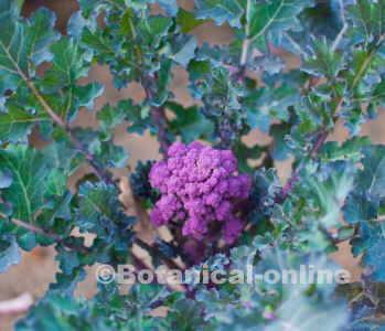 brocoli cultivo de brecoles