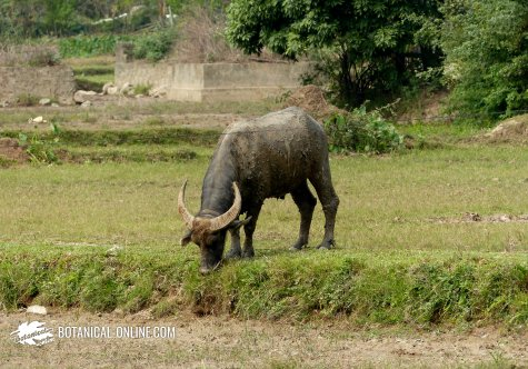 Búfalo doméstico