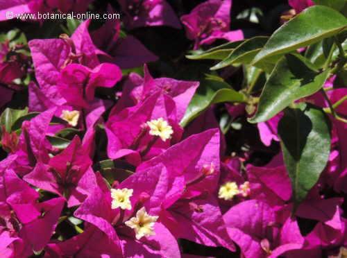 Buganvilla planta