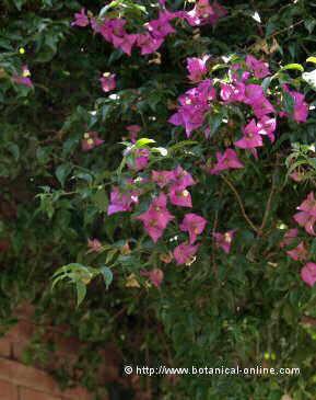 Plantas trepadoras perennes for Plantas y arbustos de exterior