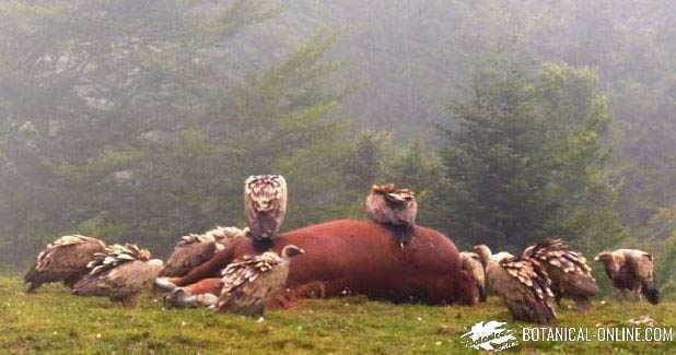 buitres carroñeros comiendo caballo muerto