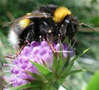 Bumblebee on wood scabious
