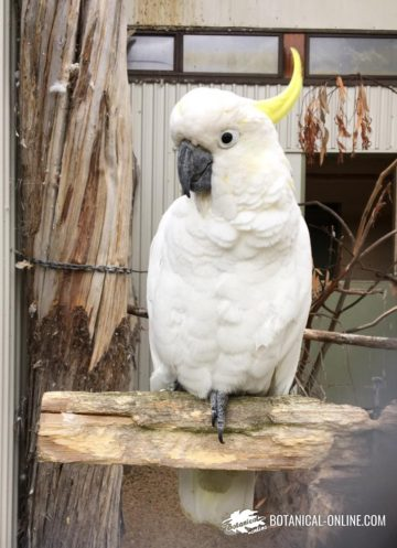 cacatúa de moño amarillo