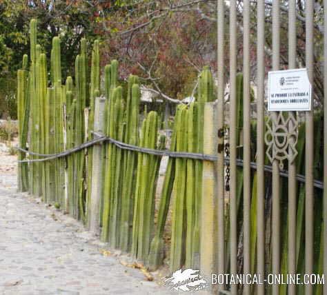 cactus barrera