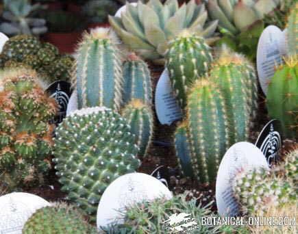 comprar cactus cultivo