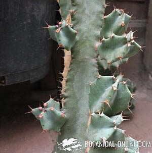 cactus multiplicacion esqueje