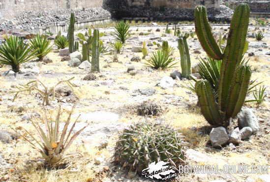 cactus silvestres tipos formas clima