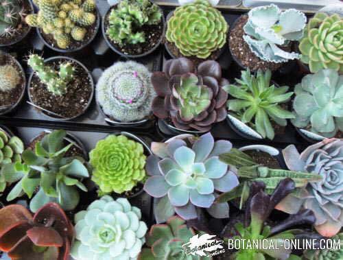 Plantas suculentas for Tipos de hojas ornamentales