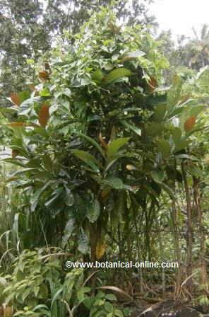 Café planta con frutos