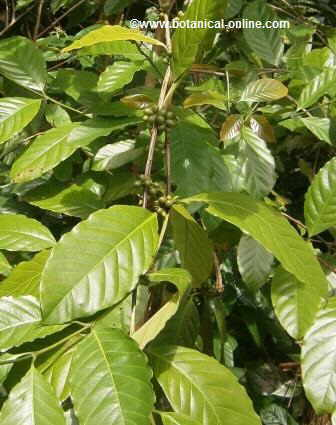 Photo of coffee plant with leaves and fruits