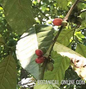 Planta de café características