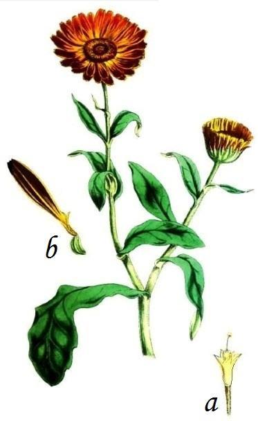 Calendula Plant Characteristics Uses And Composition