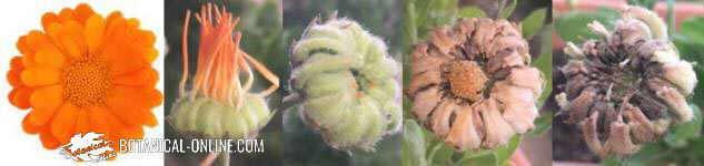 calendula officinales maravilla flor fruto floracion