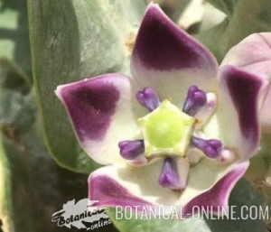 calotropis procera flor flower bloom