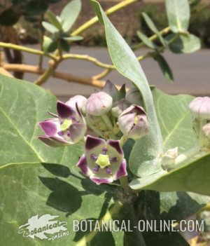 calotropis procera etiopia manzana sodoma calotrope
