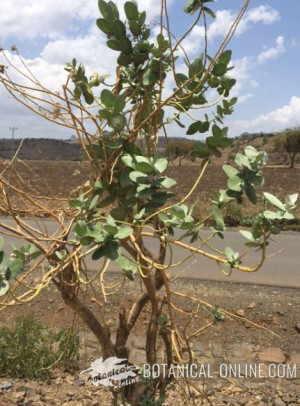 calotropis procera plant arbol arubusto