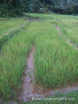 Campo de arroz en selva
