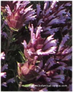 Detalle de la flor de thymus moroderi - cantahueso