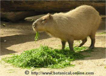 Qué come el Capibara