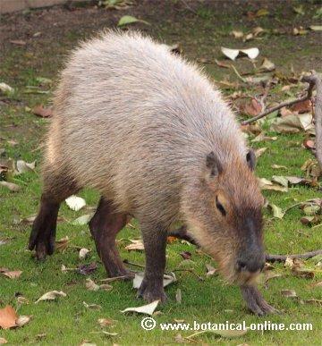 Capibara2