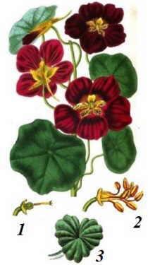 ilustración botánica de la planta