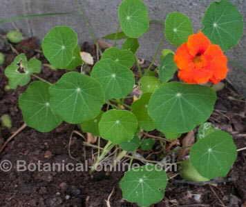 planta de capuchina o mastuerzo con flor y hojas