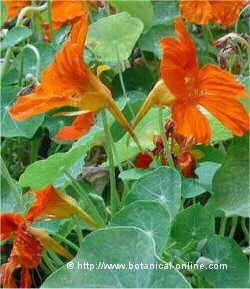 Arte y jardiner a plantas perennes medianas plantas for Plantas perennes exterior