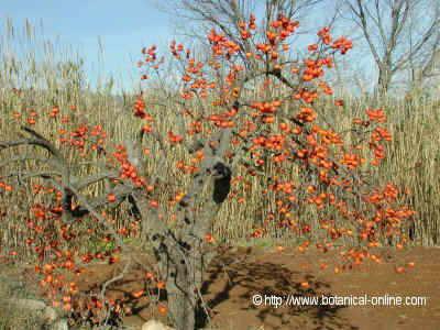 Foto de árbol de caqui o palosanto zapote japonés, guayaco, locuá o persimon japonés