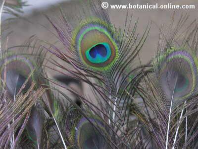 Plumas de pavo real
