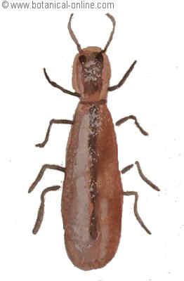 escarabajo pulverizador de la madera