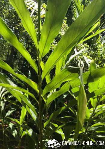 cardamomo planta hojas