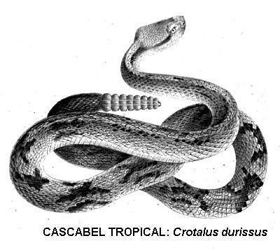 Cascabel tropical