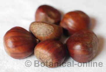 frutos del castaño, castañas