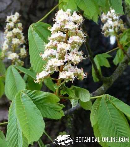 castaño de indias flores