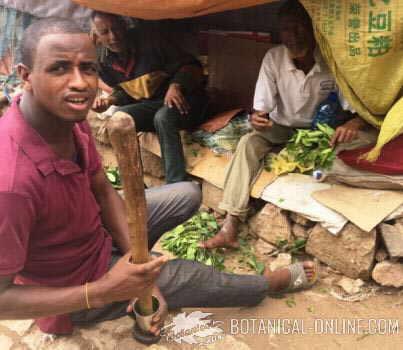 catha edulis consumption eat mastication market consuming chewing