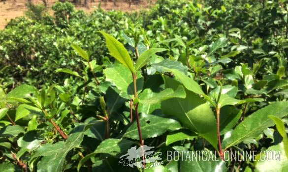 foto catha edulis cultivation plant