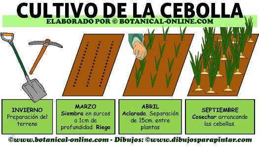 cultivo de la cebolla, como plantar cebollas