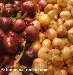 tipos de cebolla morada mercado