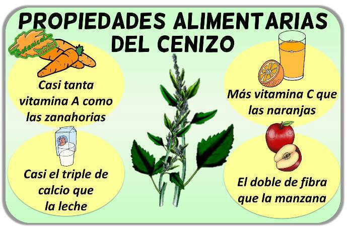 propiedades alimenticias cenizo chenopodium album vitaminas minerales