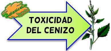 toxicidad del cenizo