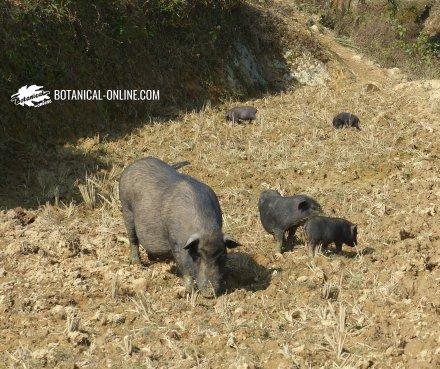 cerdo vietnamita potbelly