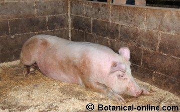 Cerdo en pocilga