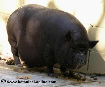 Cerdo vietnamita 3