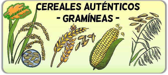 plantas gramineas cereales poaceas poaceae