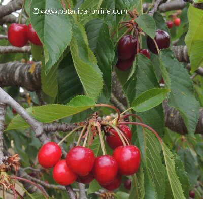Foto de cerezas en el árbol