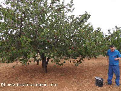 Del cerezo fotos free del cerezo fotos with del cerezo - Poda del cerezo joven ...
