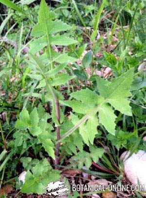 cerraja Sonchus oleraceus