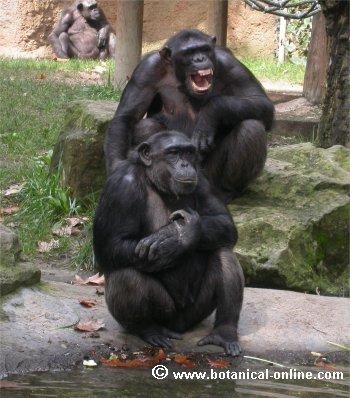 chimpance 4