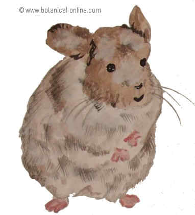 Dibujo de chinchilla
